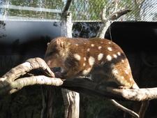 Tiger Quoll At Billabong Koala And Wildlife Park