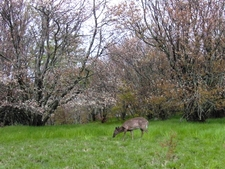 Deer Grazing At Spence Field