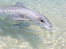 Dolphin In Monkey Mia