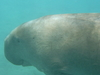 Dugong Off Abu Dabab Beach