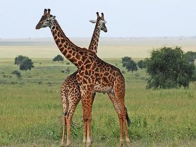 Eastern Serengeti Giraffe - Tanzania