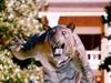 E C U Tiger