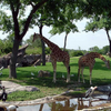 Giraffes At The
