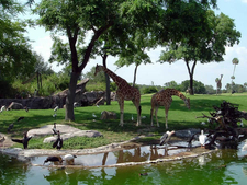 Giraffes At The