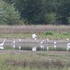 Egrets & Gulls At Jackson Bottom Wetlands Preserve OR