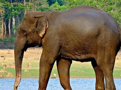 Elephant At Kurinjimala
