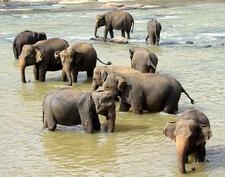 Elephant Bathing In Maha Oya River