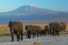 Elephants At Amboseli NP Kenya
