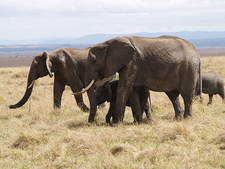 Elephants In Maasai Mara