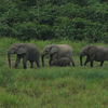 Elephants Longue Bai In Gabon