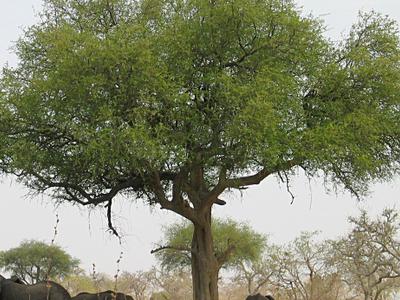Elephants Around Tree In  Waza
