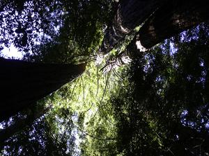 Emerald Ridge Trail y Tall Trees