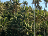 Endemic  Howea Forsteriana  Palms    Neds  Beach  2 C Lord  Howe