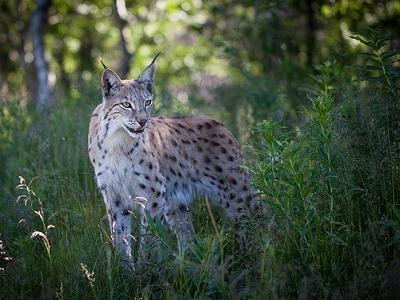 Eurasian Lynx In Summer Coat In Rondane National Park