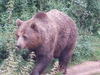 Eurasian  Bear At  Whipsnade