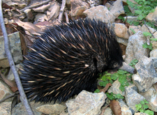 An Echidna On A Walking Trail