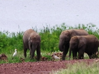 Elephabnts By Lake Amboseli