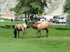 Elk Near Mammoth