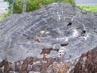 Encino Oak Tree