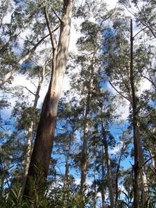 Eucalyptus Oreades Bandabanda