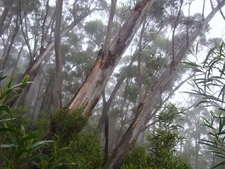 Eucalyptus Stenostoma Trees