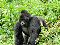 Gorilla Expeditions Holiday in Rwanda