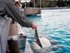 Feeding A Beluga Named Priscilla
