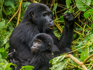 Epic Gorilla and Wildlife Safari