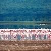 Flamingoes Feeding At Lake Nakuru