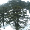 Forest Of The Cedars Of God