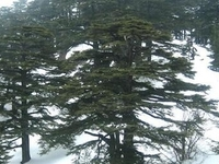 Cedars Of God
