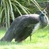 Fowl @ Wellington Zoo NZ