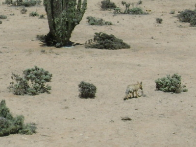 Picture Of A Chilla Fox In The Park