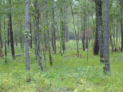 Francis Marion National Forest View