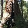 Freeman Creek Sequoia