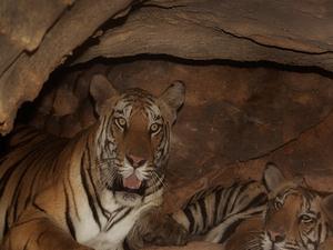 Bandhavgarh Tiger Safari Tour Photos