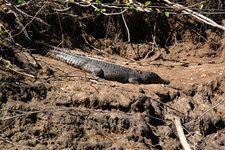 Female Crocodile Daintree River