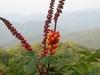 Filewagatea Spicata.jpg