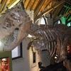 Tyrannosaurus Rex (T.Rex) Skeleton In Museum