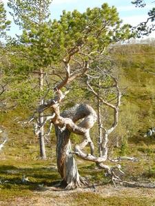 Pine Tree In Stabbursdalen