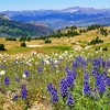 Gallatin NF Wildflowers MT