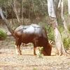 Gaur Wild Bison
