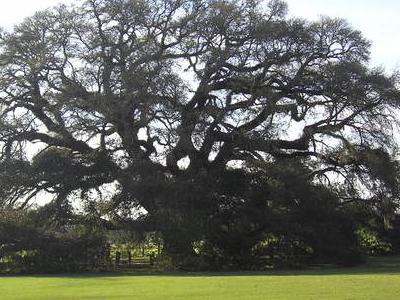 Geneva    Alabama Live Oak