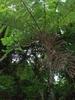 Giant Ferns Of Bulusan