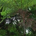 Giant Ferns Of Bulusan