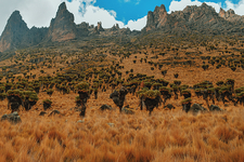 Giant Groundsels Mount Kenya