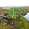 Giant Lobelia @ Sanetti Plateau In Ethiopia