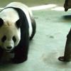 Giant Panda At Taipei Zoo