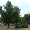 Ginkgo Biloba, Debrecen