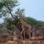 Girafe, Tsavo